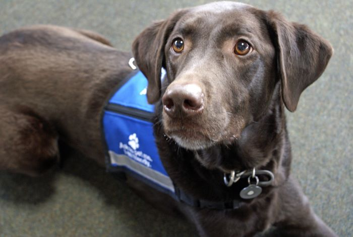 Brown service dog with blue vest